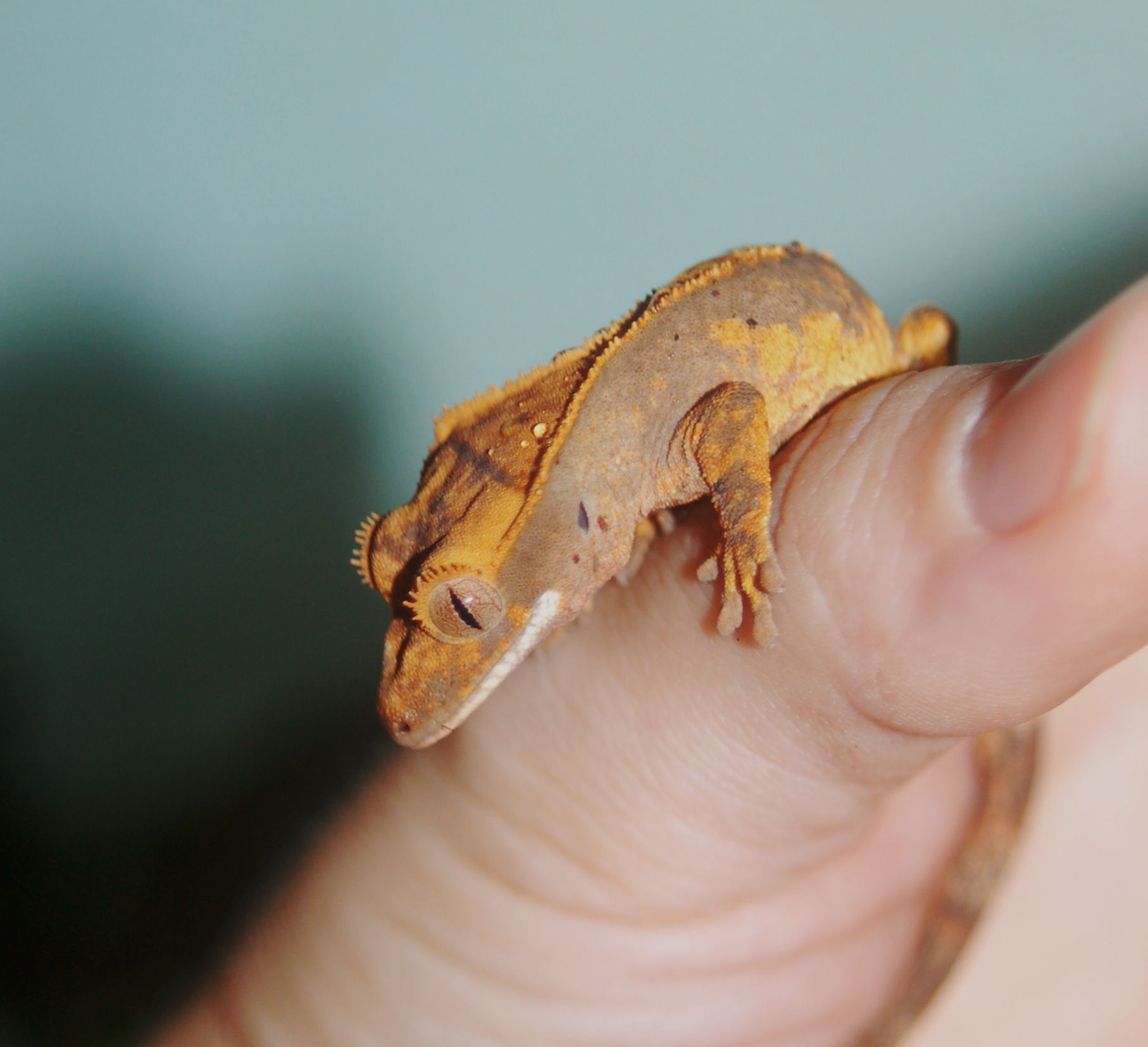 CrestedGecko